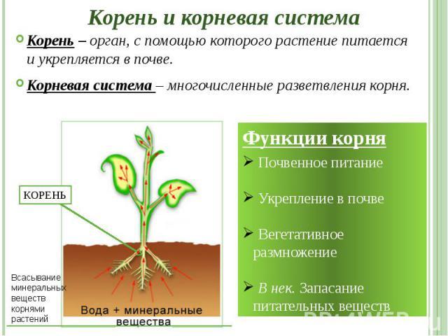 Корень и корневая система Корень – орган, с помощью которого растение питается и укрепляется в почве. Корневая система – многочисленные разветвления корня.