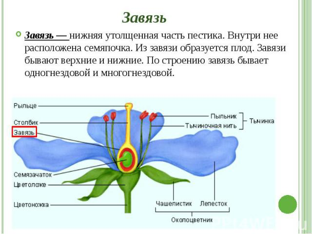 Завязь Завязь — нижняя утолщенная часть пестика. Внутри нее расположена семяпочка. Из завязи образуется плод. Завязи бывают верхние и нижние. По строению завязь бывает одногнездовой и многогнездовой.