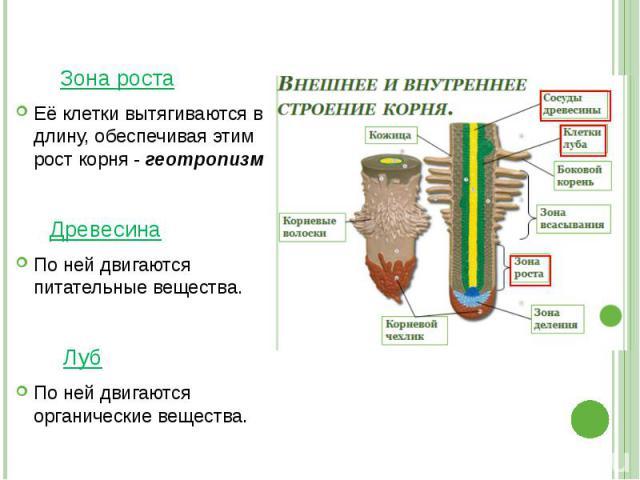 Зона роста Её клетки вытягиваются в длину, обеспечивая этим рост корня - геотропизм Древесина По ней двигаются питательные вещества. Луб По ней двигаются органические вещества.