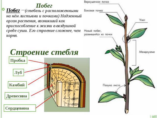 Побег Побег –(стебель с расположенными на нём листьями и почками) Надземный орган растения, возникший как приспособление к жизни в воздушной среде суши. Его строение сложнее, чем корня.