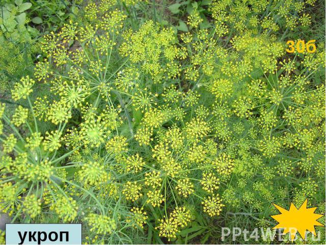 В древности оно считалось одним из лучших декоративных растений. Ветки этого растения, с его красивыми, тонко рассеченными листьями, служили украшением в цветочных букетах. В древности оно считалось одним из лучших декоративных растений. Ветки этого…