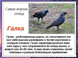 Галка - родственница ворон, но отличается от них небольшими размерами и более ко