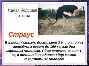 В высоту страус достигает 3 м, почти как автобус, а весит до 160 кг, как два взр