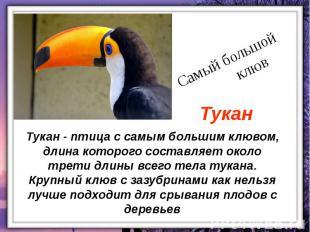 Тукан - птица с самым большим клювом, длина которого составляет около трети длин