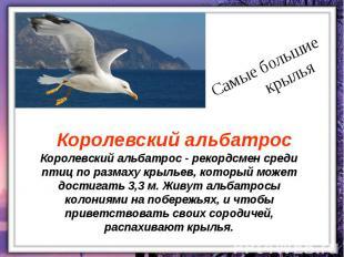 Королевский альбатрос - рекордсмен среди птиц по размаху крыльев, который может