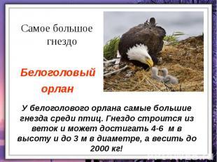 У белоголового орлана самые большие гнезда среди птиц. Гнездо строится из веток