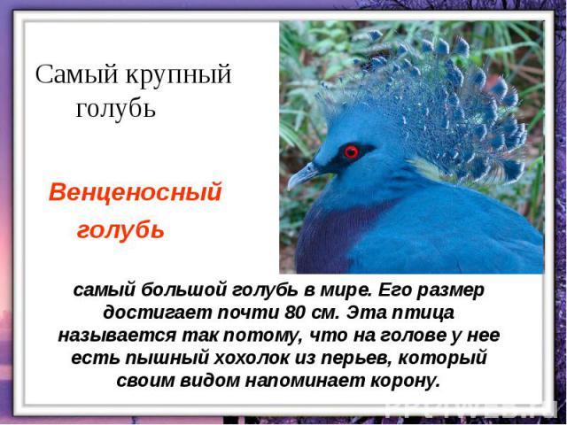самый большой голубь в мире. Его размер достигает почти 80 см. Эта птица называется так потому, что на голове у нее есть пышный хохолок из перьев, который своим видом напоминает корону.