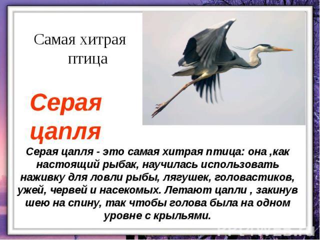 Серая цапля - это самая хитрая птица: она ,как настоящий рыбак, научилась использовать наживку для ловли рыбы, лягушек, головастиков, ужей, червей и насекомых. Летают цапли , закинув шею на спину, так чтобы голова была на одном уровне с крыльями.