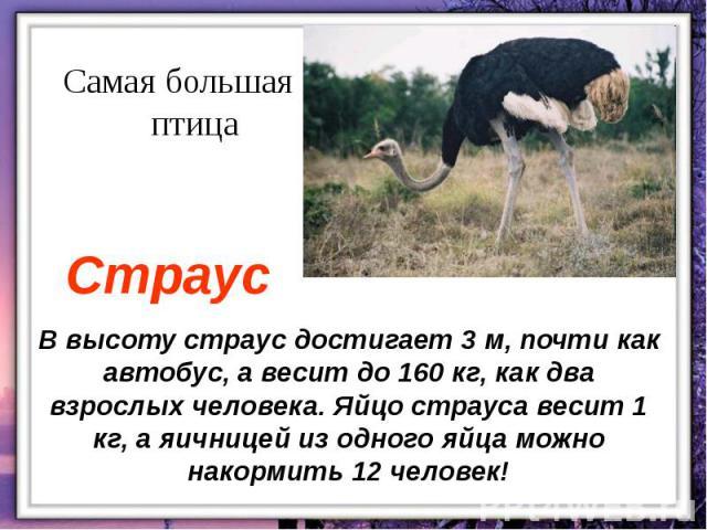 В высоту страус достигает 3 м, почти как автобус, а весит до 160 кг, как два взрослых человека. Яйцо страуса весит 1 кг, а яичницей из одного яйца можно накормить 12 человек!