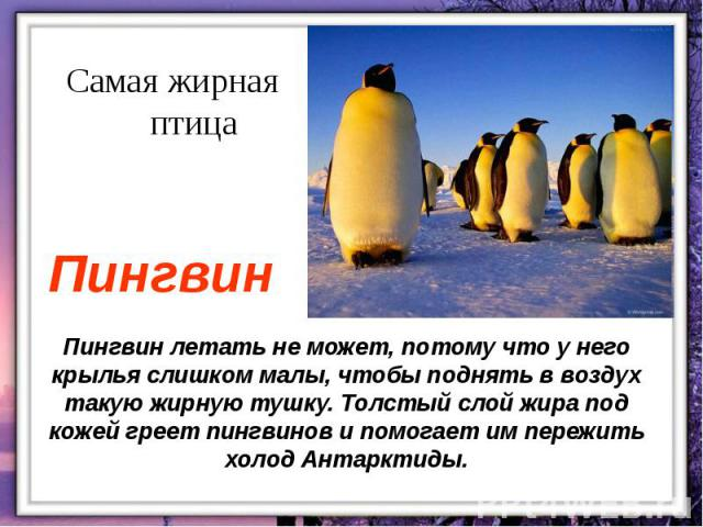 Пингвин летать не может, потому что у него крылья слишком малы, чтобы поднять в воздух такую жирную тушку. Толстый слой жира под кожей греет пингвинов и помогает им пережить холод Антарктиды.