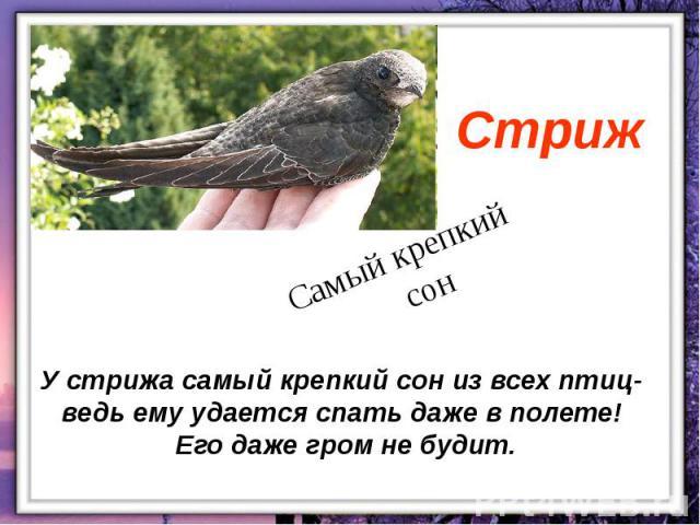 У стрижа самый крепкий сон из всех птиц- ведь ему удается спать даже в полете! Его даже гром не будит.