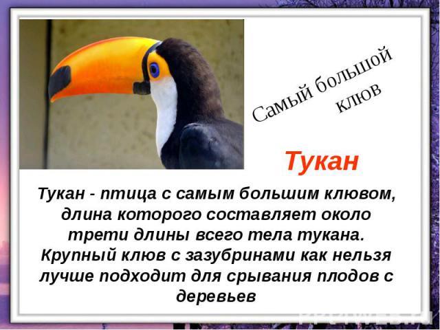 Тукан - птица с самым большим клювом, длина которого составляет около трети длины всего тела тукана. Крупный клюв с зазубринами как нельзя лучше подходит для срывания плодов с деревьев