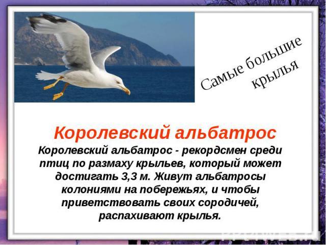 Королевский альбатрос - рекордсмен среди птиц по размаху крыльев, который может достигать 3,3 м. Живут альбатросы колониями на побережьях, и чтобы приветствовать своих сородичей, распахивают крылья.