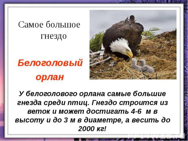 У белоголового орлана самые большие гнезда среди птиц. Гнездо строится из веток и может достигать 4-6 м в высоту и до 3 м в диаметре, а весить до 2000 кг!