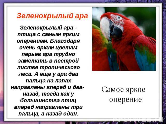 Зеленокрылый ара - птица с самым ярким оперением. Благодаря очень ярким цветам перьев ара трудно заметить в пестрой листве тропического леса. А еще у ара два пальца на лапах направлены вперед и два- назад, тогда как у большинства птиц вперед направл…