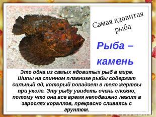 Это одна из самых ядовитых рыб в мире. Шипы на спинном плавнике рыбы содержат си