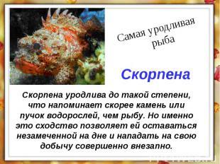Скорпена уродлива до такой степени, что напоминает скорее камень или пучок водор
