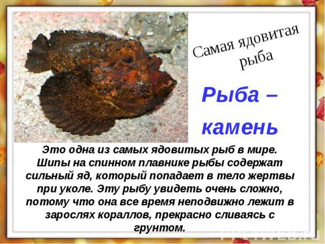 Это одна из самых ядовитых рыб в мире. Шипы на спинном плавнике рыбы содержат сильный яд, который попадает в тело жертвы при уколе. Эту рыбу увидеть очень сложно, потому что она все время неподвижно лежит в зарослях кораллов, прекрасно сливаясь с грунтом.