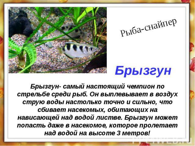 Брызгун- самый настоящий чемпион по стрельбе среди рыб. Он выплевывает в воздух струю воды настолько точно и сильно, что сбивает насекомых, обитающих на нависающей над водой листве. Брызгун может попасть даже в насекомое, которое пролетает над водой…