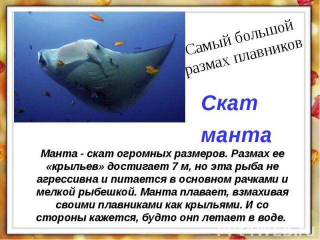 Манта - скат огромных размеров. Размах ее «крыльев» достигает 7 м, но эта рыба не агрессивна и питается в основном рачками и мелкой рыбешкой. Манта плавает, взмахивая своими плавниками как крыльями. И со стороны кажется, будто онп летает в воде.
