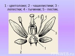 1 - цветоложе; 2 - чашелистики; 3 - лепестки; 4 - тычинки; 5 - пестик. 1 - цвето