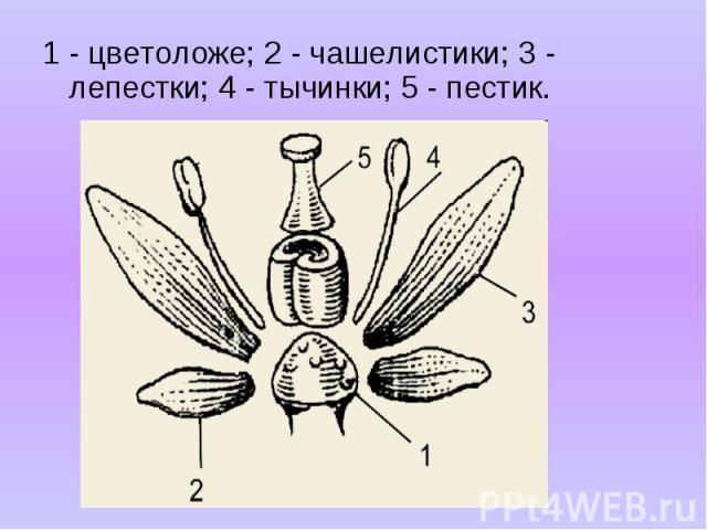 1 - цветоложе; 2 - чашелистики; 3 - лепестки; 4 - тычинки; 5 - пестик. 1 - цветоложе; 2 - чашелистики; 3 - лепестки; 4 - тычинки; 5 - пестик.