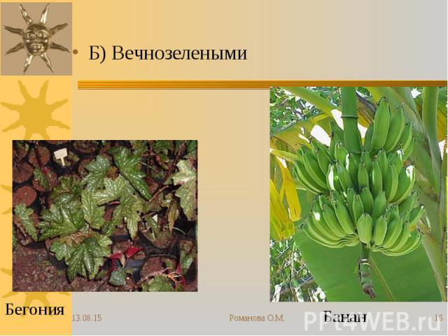 Б) Вечнозелеными Б) Вечнозелеными