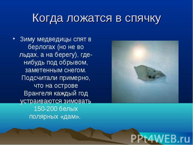 Зиму медведицы спят в берлогах (но не во льдах, а на берегу), где-нибудь под обрывом, заметенным снегом. Подсчитали примерно, что на острове Врангеля каждый год устраиваются зимовать 150-200 белых полярных «дам». Зиму медведицы спят в берлогах (но н…
