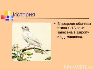 В природе обычная птица.В 15 веке завезена в Европу и одомашнена. В природе обыч