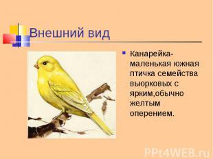 Канарейка-маленькая южная птичка семейства вьюрковых с ярким,обычно желтым опере