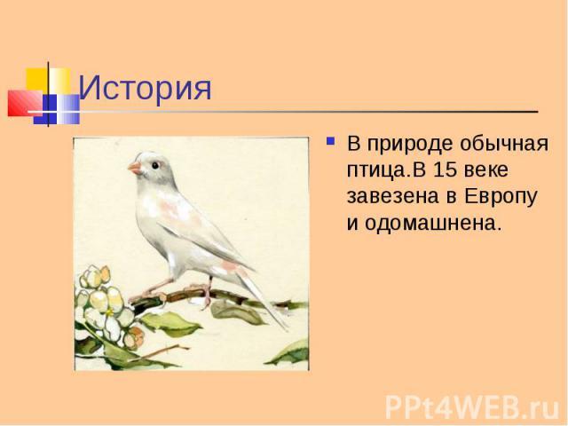 В природе обычная птица.В 15 веке завезена в Европу и одомашнена. В природе обычная птица.В 15 веке завезена в Европу и одомашнена.