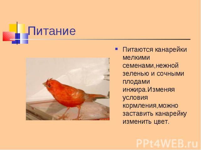 Питаются канарейки мелкими семенами,нежной зеленью и сочными плодами инжира.Изменяя условия кормления,можно заставить канарейку изменить цвет. Питаются канарейки мелкими семенами,нежной зеленью и сочными плодами инжира.Изменяя условия кормления,можн…