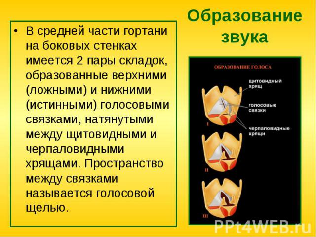 В средней части гортани на боковых стенках имеется 2 пары складок, образованные верхними (ложными) и нижними (истинными) голосовыми связками, натянутыми между щитовидными и черпаловидными хрящами. Пространство между связками называется голосовой щел…