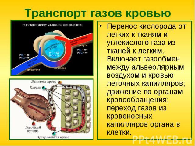 Перенос кислорода от легких к тканям и углекислого газа из тканей к легким. Включает газообмен между альвеолярным воздухом и кровью легочных капилляров; движение по органам кровообращения; переход газов из кровеносных капилляров органа в клетки. Пер…