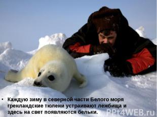 Каждую зиму в северной части Белого моря гренландские тюлени устраивают лежбища