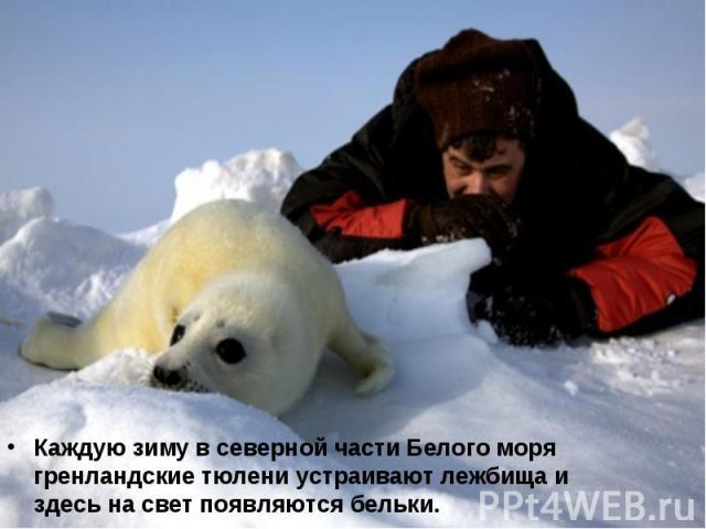 Каждую зиму в северной части Белого моря гренландские тюлени устраивают лежбища и здесь на свет появляются бельки. Каждую зиму в северной части Белого моря гренландские тюлени устраивают лежбища и здесь на свет появляются бельки.