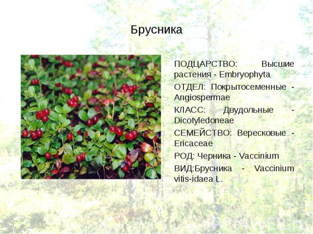 ПОДЦАРСТВО: Высшие растения - Embryophyta ПОДЦАРСТВО: Высшие растения - Embryophyta ОТДЕЛ: Покрытосеменные - Angiospermae КЛАСС: Двудольные - Dicotyledoneae СЕМЕЙСТВО: Вересковые - Ericaceae РОД: Черника - Vaccinium ВИД:Брусника - Vaccinium vitis-idaea L.