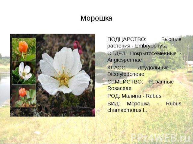 ПОДЦАРСТВО: Высшие растения - Embryophyta ПОДЦАРСТВО: Высшие растения - Embryophyta ОТДЕЛ: Покрытосеменные - Angiospermae КЛАСС: Двудольные - Dicotyledoneae СЕМЕЙСТВО: Розанные - Rosaceae РОД: Малина - Rubus ВИД: Морошка - Rubus chamaemorus L.