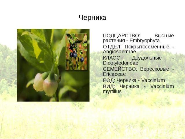 ПОДЦАРСТВО: Высшие растения - Embryophyta ПОДЦАРСТВО: Высшие растения - Embryophyta ОТДЕЛ: Покрытосеменные - Angiospermae КЛАСС: Двудольные - Dicotyledoneae СЕМЕЙСТВО: Вересковые - Ericaceae РОД: Черника - Vaccinium ВИД: Черника - Vaccinium myrtillus L.