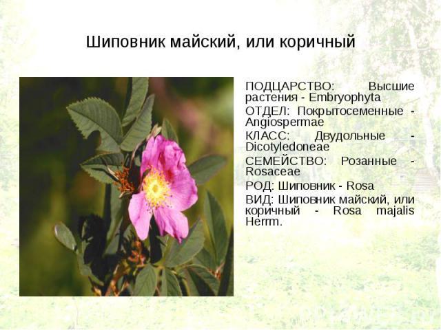 ПОДЦАРСТВО: Высшие растения - Embryophyta ПОДЦАРСТВО: Высшие растения - Embryophyta ОТДЕЛ: Покрытосеменные - Angiospermae КЛАСС: Двудольные - Dicotyledoneae СЕМЕЙСТВО: Розанные - Rosaceae РОД: Шиповник - Rosa ВИД: Шиповник майский, или коричный - Ro…