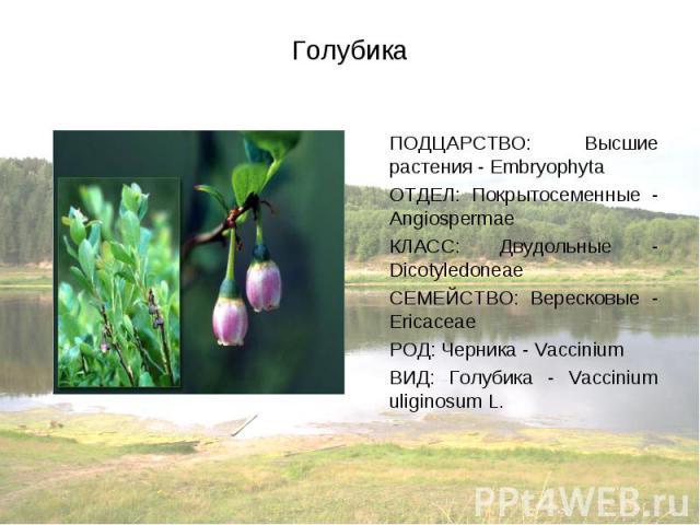 ПОДЦАРСТВО: Высшие растения - Embryophyta ПОДЦАРСТВО: Высшие растения - Embryophyta ОТДЕЛ: Покрытосеменные - Angiospermae КЛАСС: Двудольные - Dicotyledoneae СЕМЕЙСТВО: Вересковые - Ericaceae РОД: Черника - Vaccinium ВИД: Голубика - Vaccinium uliginosum L.
