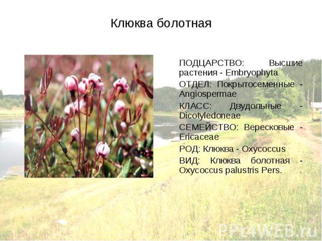 ПОДЦАРСТВО: Высшие растения - Embryophyta ПОДЦАРСТВО: Высшие растения - Embryophyta ОТДЕЛ: Покрытосеменные - Angiospermae КЛАСС: Двудольные - Dicotyledoneae СЕМЕЙСТВО: Вересковые - Ericaceae РОД: Клюква - Oxycoccus ВИД: Клюква болотная - Oxycoccus p…