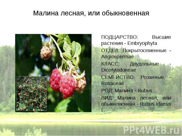 ПОДЦАРСТВО: Высшие растения - Embryophyta ПОДЦАРСТВО: Высшие растения - Embryophyta ОТДЕЛ: Покрытосеменные - Angiospermae КЛАСС: Двудольные - Dicotyledoneae СЕМЕЙСТВО: Розанные - Rosaceae РОД: Малина - Rubus ВИД: Малина лесная, или обыкновенная - Ru…