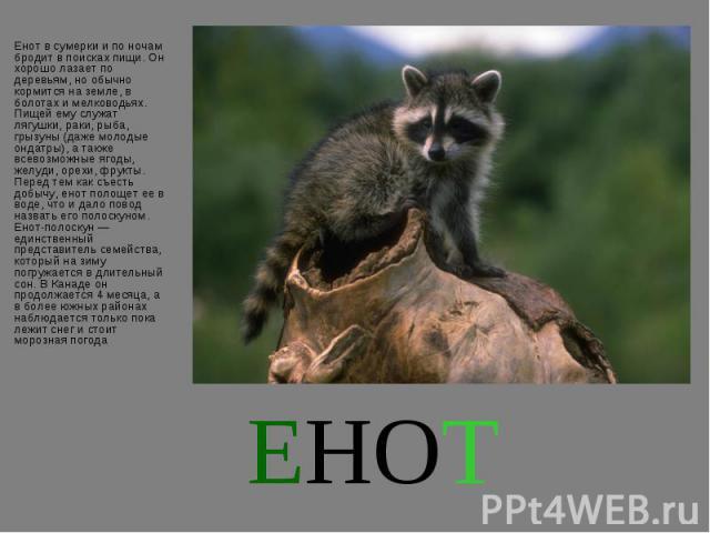 Енот в сумерки и по ночам бродит в поисках пищи. Он хорошо лазает по деревьям, но обычно кормится на земле, в болотах и мелководьях. Пищей ему служат лягушки, раки, рыба, грызуны (даже молодые ондатры), а также всевозможные ягоды, желуди, орехи, фру…