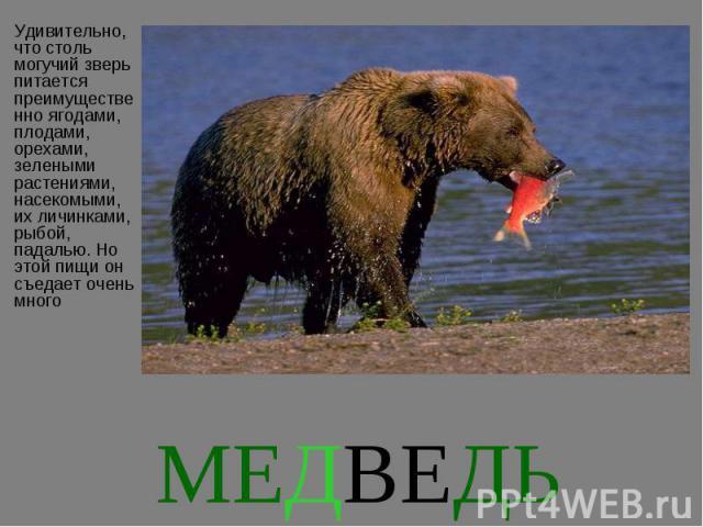 Удивительно, что столь могучий зверь питается преимущественно ягодами, плодами, орехами, зелеными растениями, насекомыми, их личинками, рыбой, падалью. Но этой пищи он съедает очень много Удивительно, что столь могучий зверь питается преимущественно…