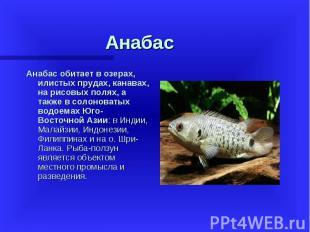 Анабас обитает в озерах, илистых прудах, канавах, на рисовых полях, а также в со