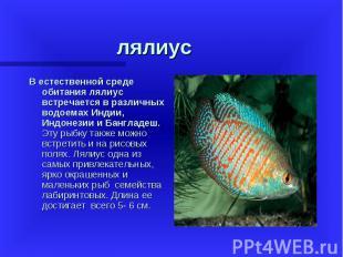 В естественной среде обитания лялиус встречается в различных водоемах Индии, Инд