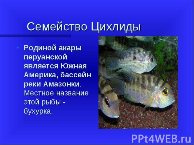 Родиной акары перуанской является Южная Америка, бассейн реки Амазонки. Местное название этой рыбы - бухурка. Родиной акары перуанской является Южная Америка, бассейн реки Амазонки. Местное название этой рыбы - бухурка.