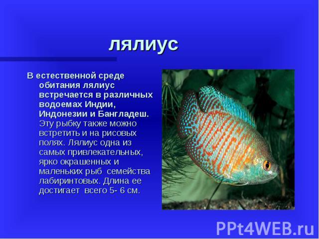 В естественной среде обитания лялиус встречается в различных водоемах Индии, Индонезии и Бангладеш. Эту рыбку также можно встретить и на рисовых полях. Лялиус одна из самых привлекательных, ярко окрашенных и маленьких рыб семейства лабиринтовы…