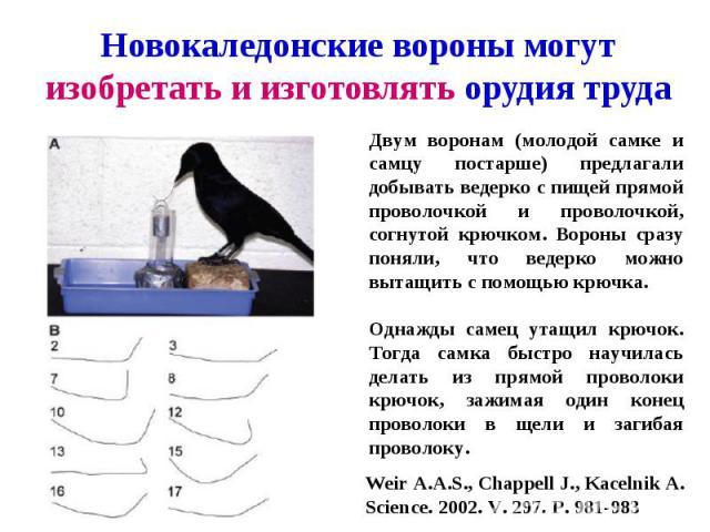 Новокаледонские вороны могут изобретать и изготовлять орудия труда